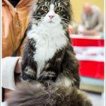 Lord Lasalle WPCC Catshow Cat of the Day